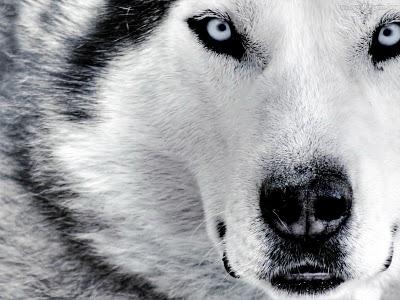 Lobo Malhado
